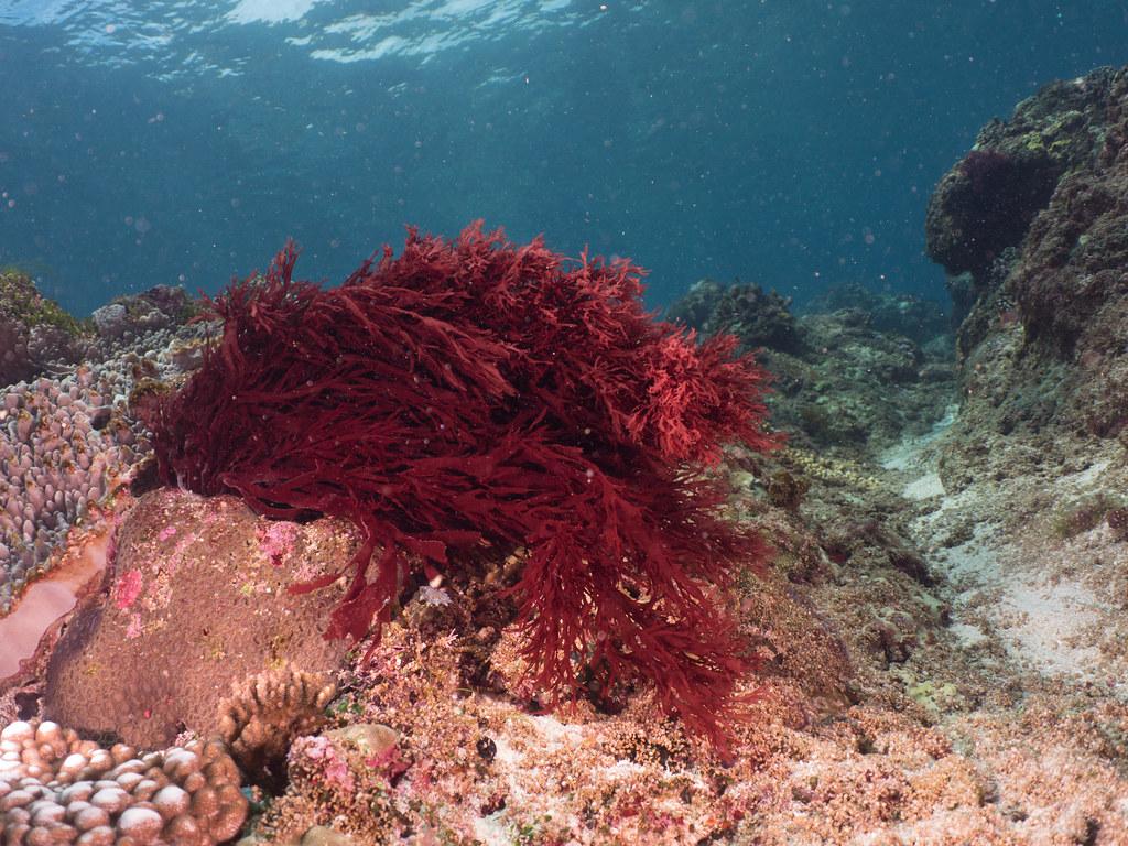 Chiết xuất tảo đỏ Gracilaria sp. được chứng minh là có rất nhiều công dụng. Ảnh: Wikimedia.