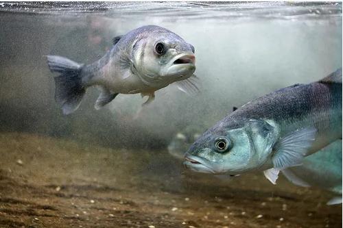 Nghề nuôi cá chẽm đang ngày càng trở nên phổ biến, nhưng cũng đối mặt với rất nhiều nguy cơ do dịch bênh.  Ảnh: Medaid.