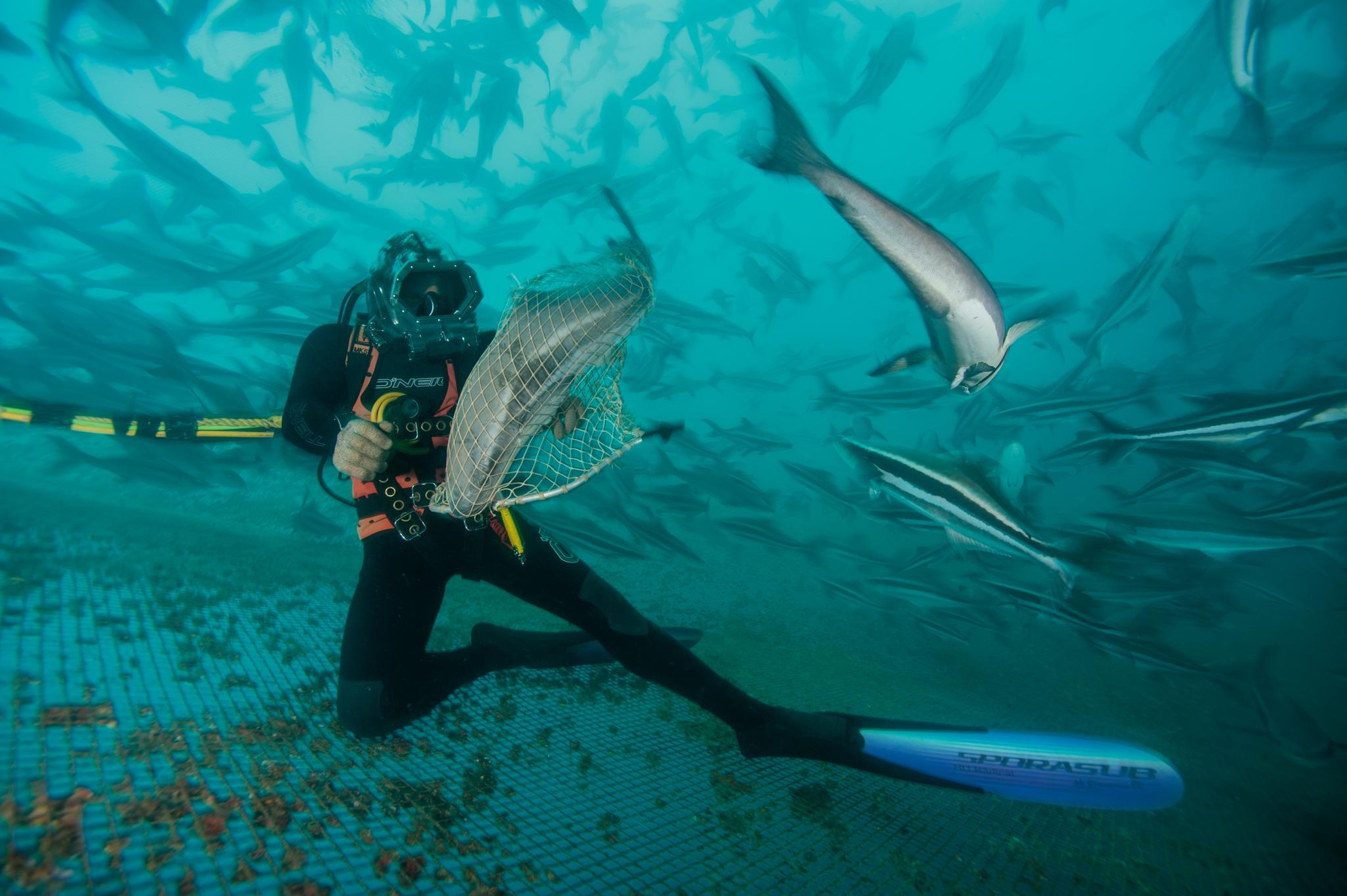 Thợ lặn và các thiết bị ROV tốc độ cao có thể khiến cá nuôi sợ hãi. Ảnh: National Geographic.
