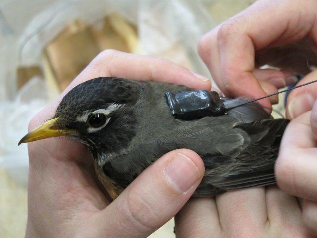 Gắn thiết bị định vị GPS để theo dõi hành trình di trú của chim Cổ Đỏ. Ảnh: