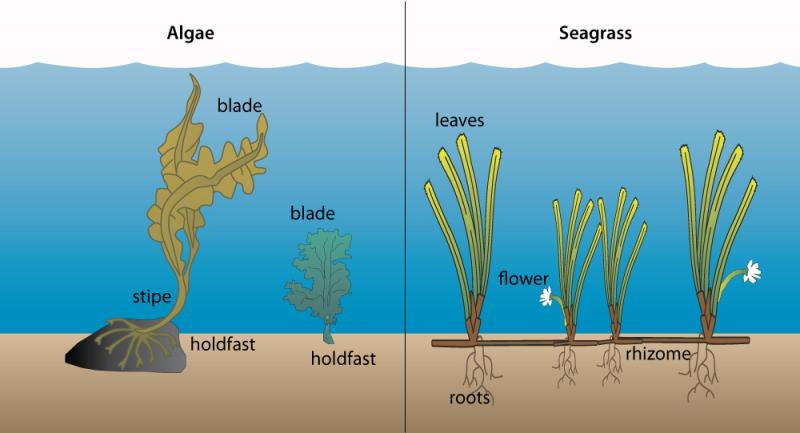 Rong biển (Algae hoặc seaweed, bên trái) khác với Cỏ biển (seagrasse, bên phải)