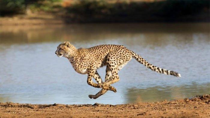 Báo săn gê-pa (cheetah) là ông vua tốc độ nước rút trên cạn. Ảnh: Wikimedia.