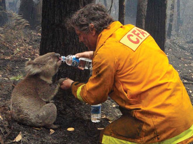 Lính cứu hỏa cho một con Koala uống nước sau trận cháy rừng tại Úc. Ảnh: ABC News.