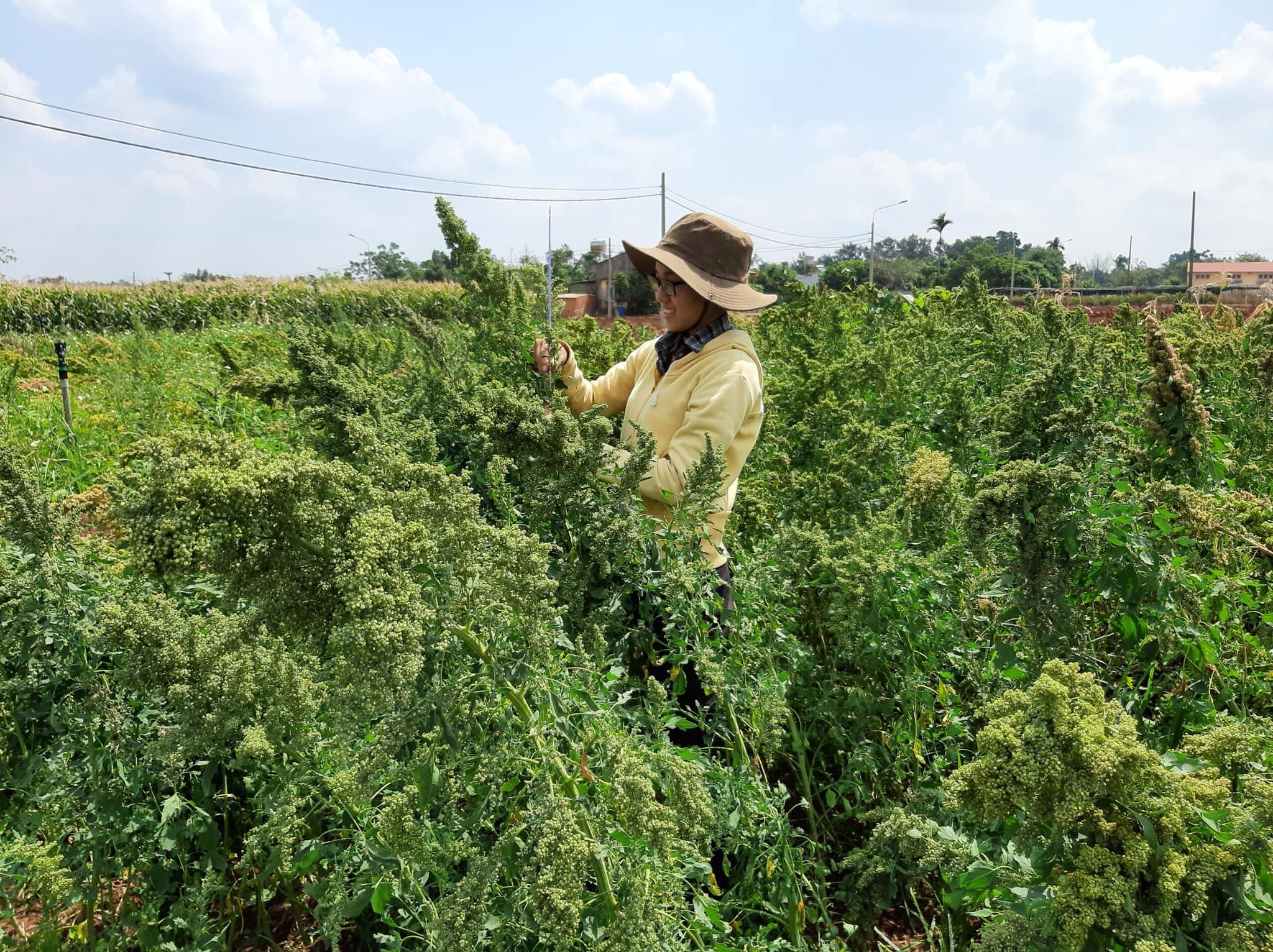 Cánh đồng diêm mạch do ĐH Tây Nguyên trồng thử nghiệm tại xã Eatu (Đắk Lắk). Ảnh: Nguyễn Văn Minh