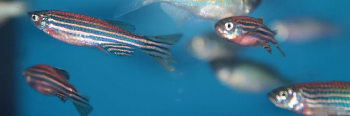 Loài cá ngựa vằn, kết quả từ một dự án nghiên cứu của Đại học Quốc gia Đài Loan. Ảnh: