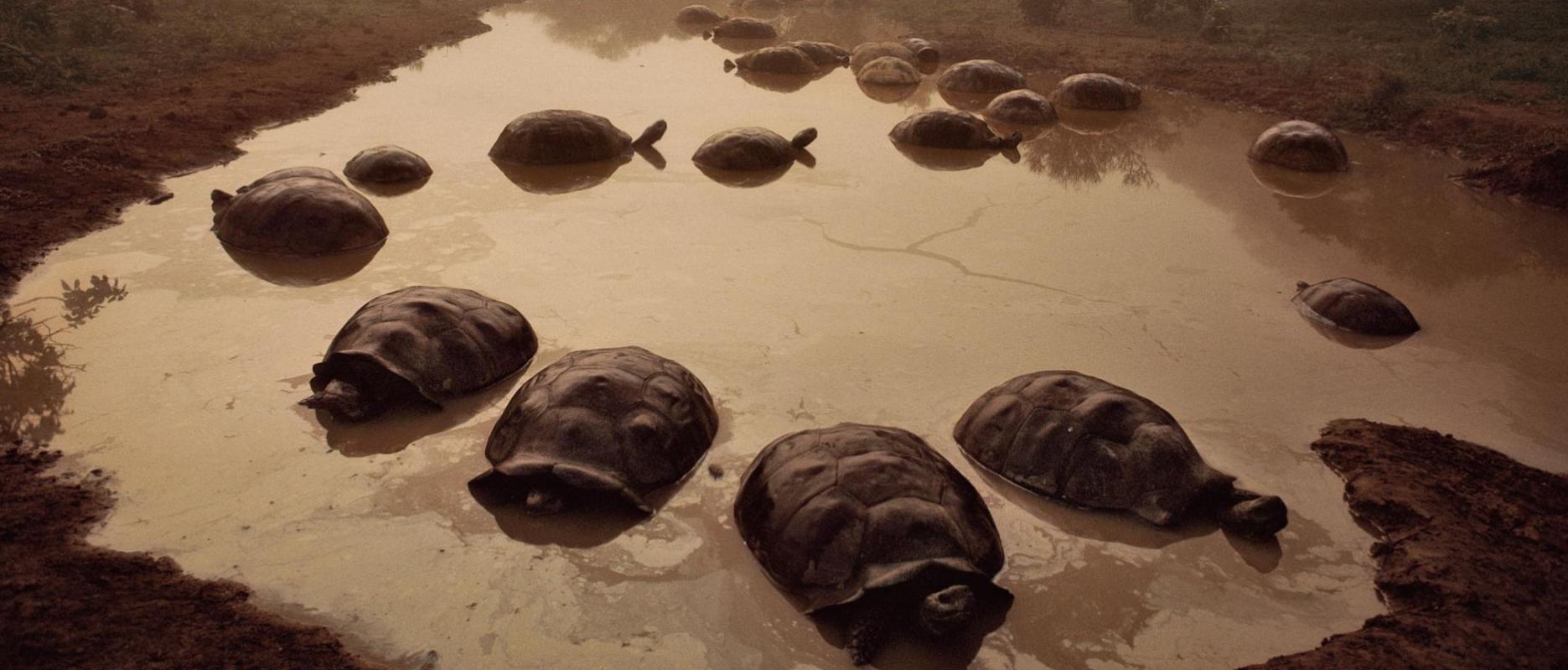 Darwin đã rất ngạc nhiên khi thấy nhiều rùa khổng lồ ở đảo Galápagos, Ecuador ngày nay.