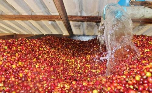 Sau khi thu hoạch, việc xử lý quả cà phê tươi tốn không ít thời gian, chi phí và ảnh hưởng trực tiếp đến chất lượng cà phê nhân. Ảnh: coffeetree.vn