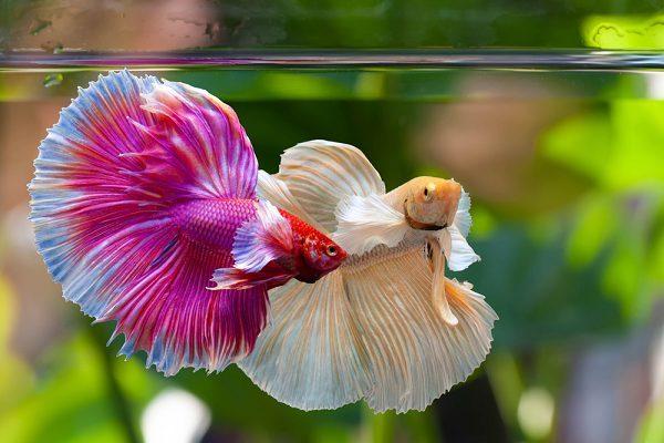 Thời gian giao đấu giữa hai con cá chọi đực thường kéo dài trung bình 82 phút.