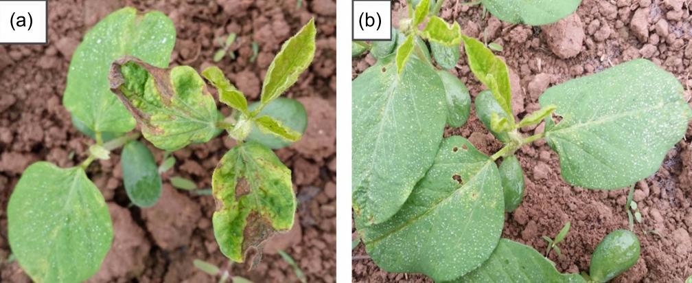 Mẫu (a): cây đậu tường phát triển từ hạt giống không được bọc hạt.