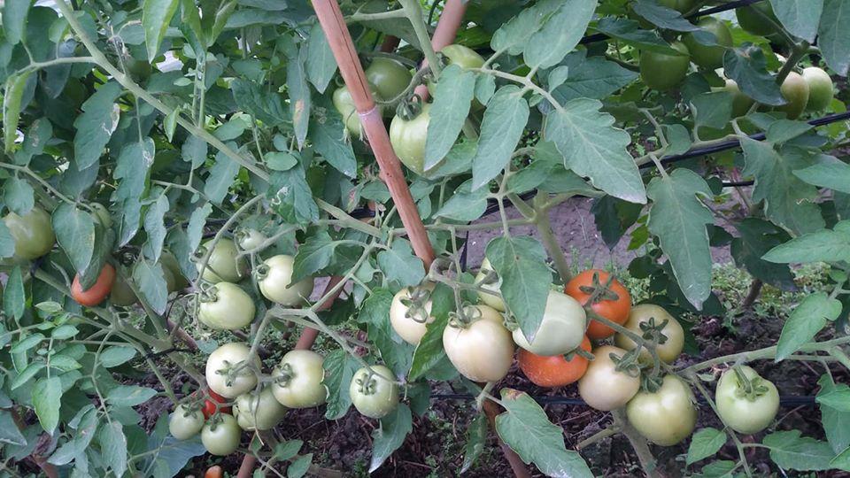 Vườn cà chua sử dụng chế phẩm sinh học ở HTX Tiên Dương. Ảnh: Tiên Duong Organic.