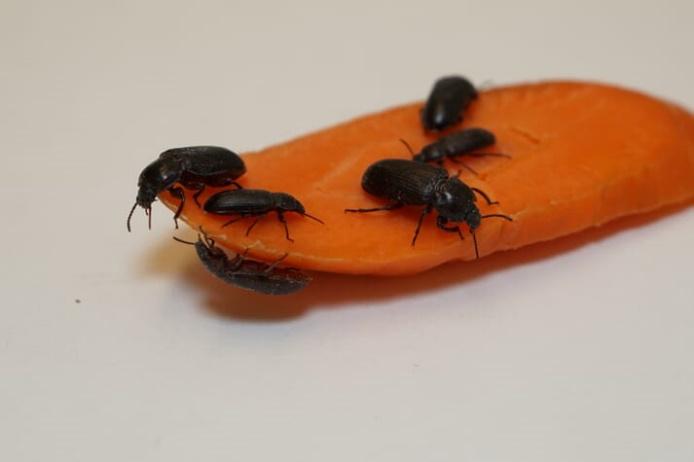 Ấu trùng sâu bột, được sử dụng làm thức ăn trong nuôi trồng thủy sản. Ảnh: Dana Robinson.