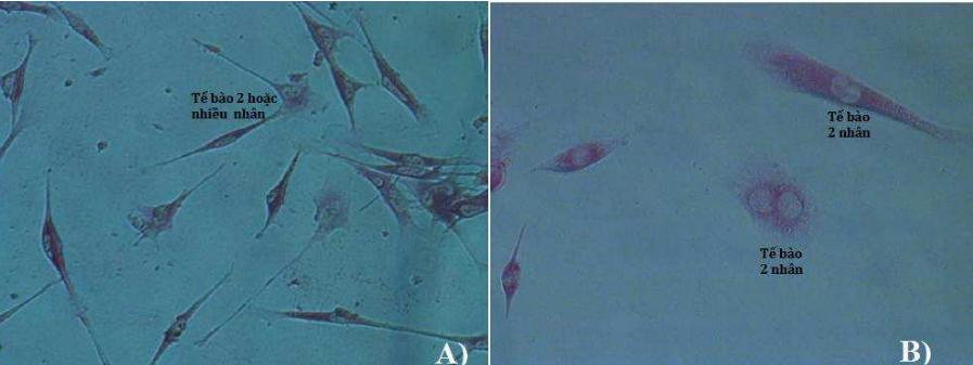 Tế bào gốc trung mô chuột sau khi biệt hóa thành tế bào chức năng gan và nhuộm với PAS (độ phóng đại 100x). Ảnh: NVCC