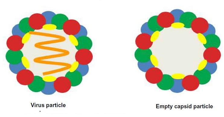 Minh họa cấu trúc của hạt virus tự nhiên (trên) và hạt giả virus (dưới). Ảnh: dovepress