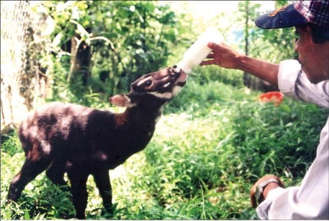 Sao la được phát hiện năm 1999 tại Dương Hòa. Ảnh: WWF