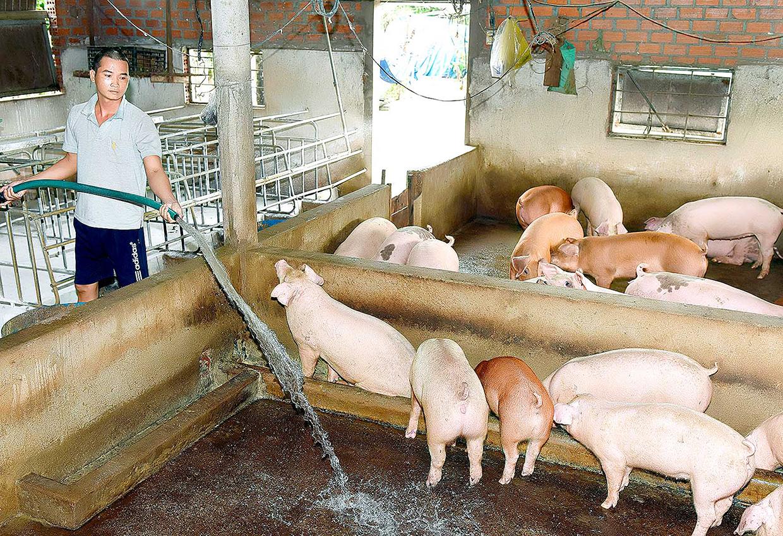 Chăn nuôi heo tại hộ gia đình. Ảnh: Đức Thụy/Báo Gia Lai