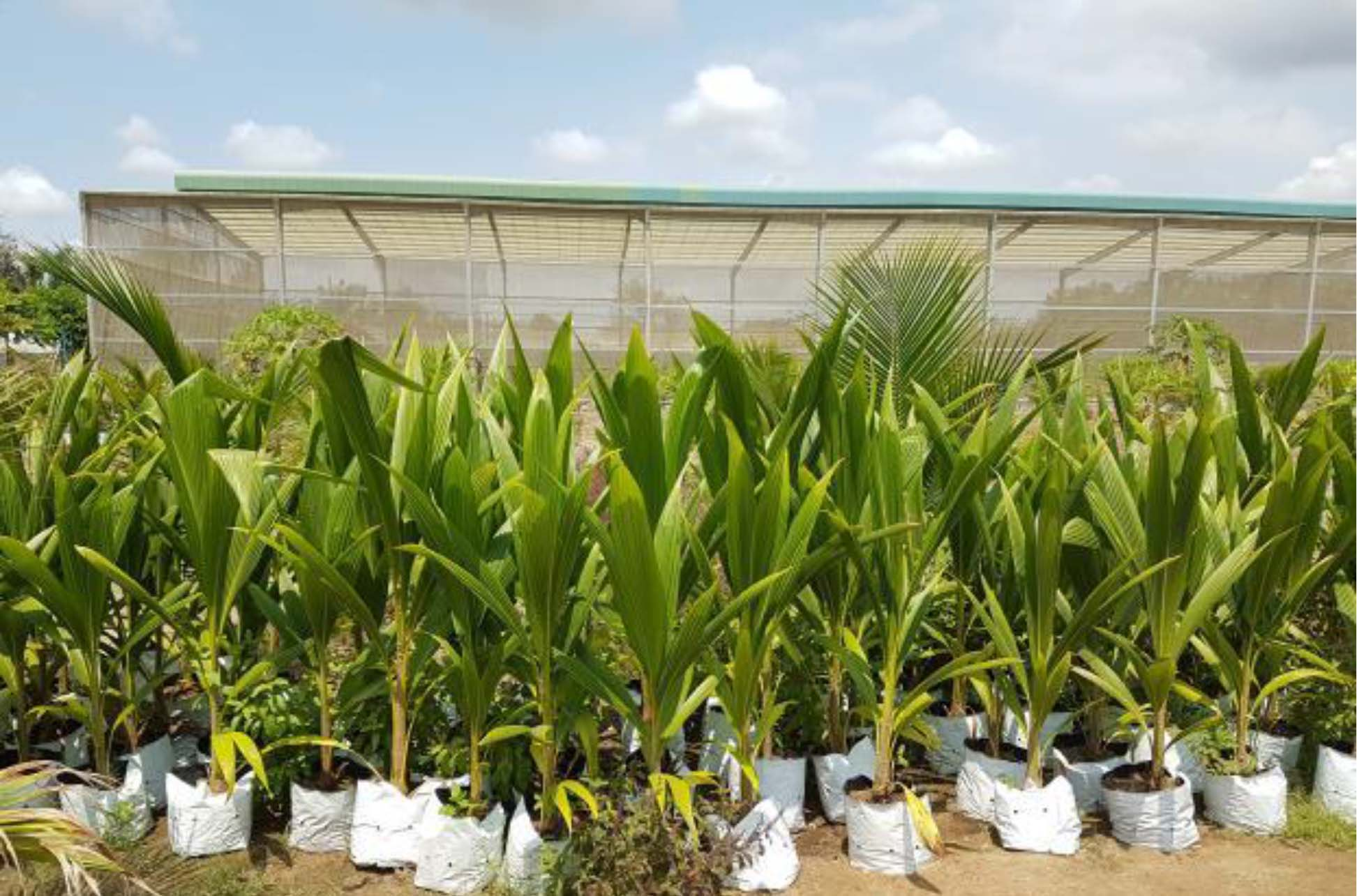 Vườn ươm dừa sáp