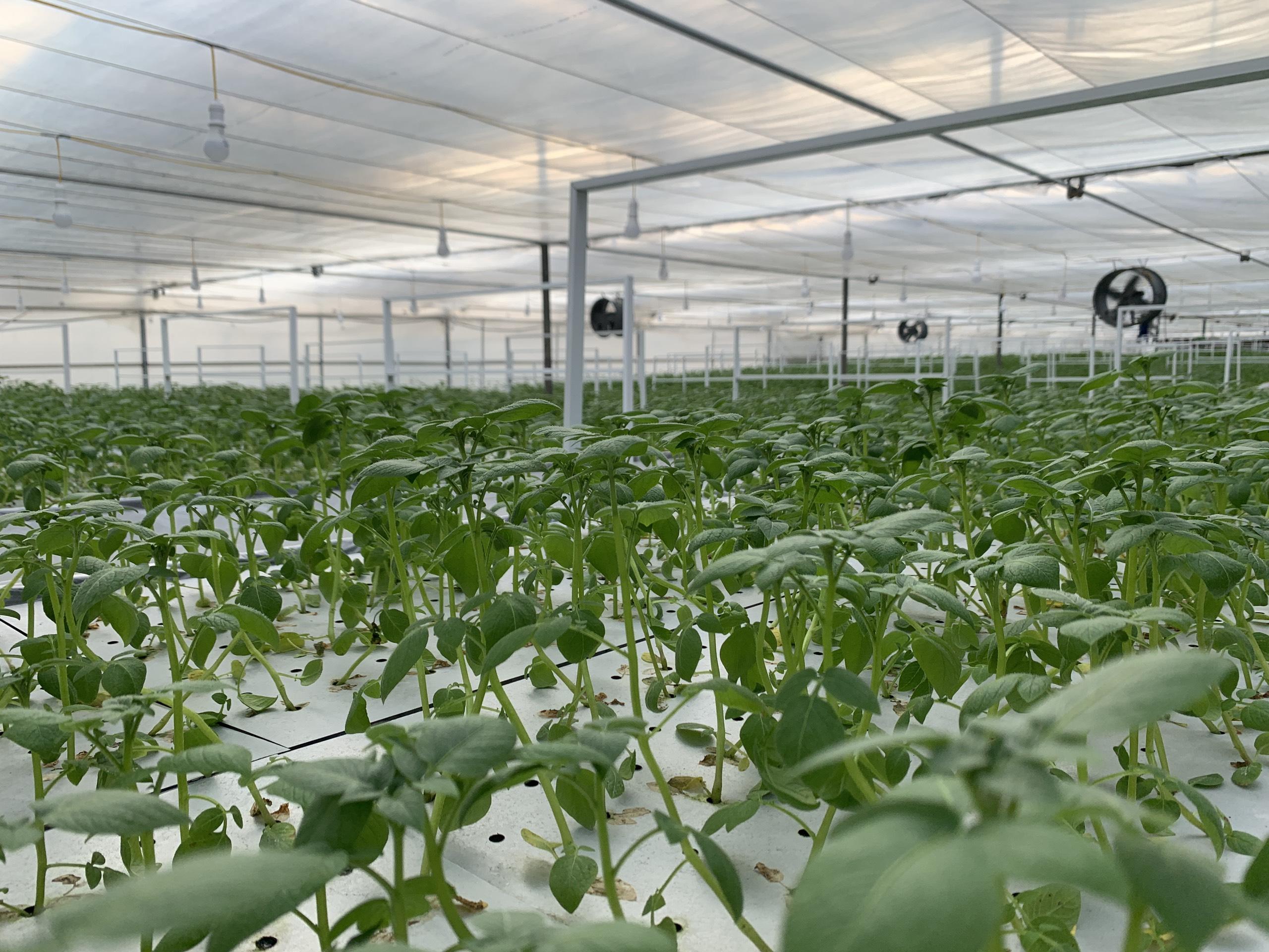 Khoai tây trong nhà màng khí canh do Công ty Orion Vina tài trợ cho Viện Công nghệ sinh học.