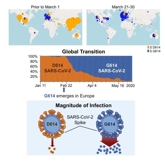 Sự thay đổi số ca nhiễm SARS-CoV-2 cho thấy đột biến D614G đang trở nên thống trị. Trong hình, màu đỏ cam chỉ các ca lây nhiễm chứa axit amin D614 trên gene (tức virus thuần chủng); màu xanh chỉ các ca lây nhiễm với chứa axit amin G614 (tức virus đột biến). Ảnh: Korber et al, Cell (2020)