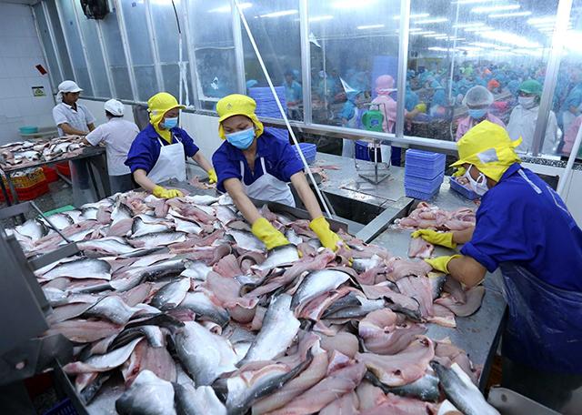 Chế biến là một trong những công đoạn gây thất thoát, lãng phí nhất trong chuỗi sản xuất cá da trơn của Việt Nam   Ảnh minh họa