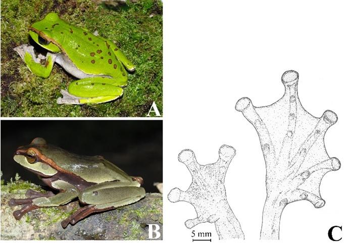 Ếch cây văn bàn Rhacophorus vanbanicus ngoài tự nhiên
