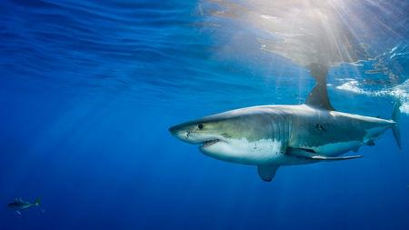 Cá mập sử dụng từ trường của Trái đất để định hướng