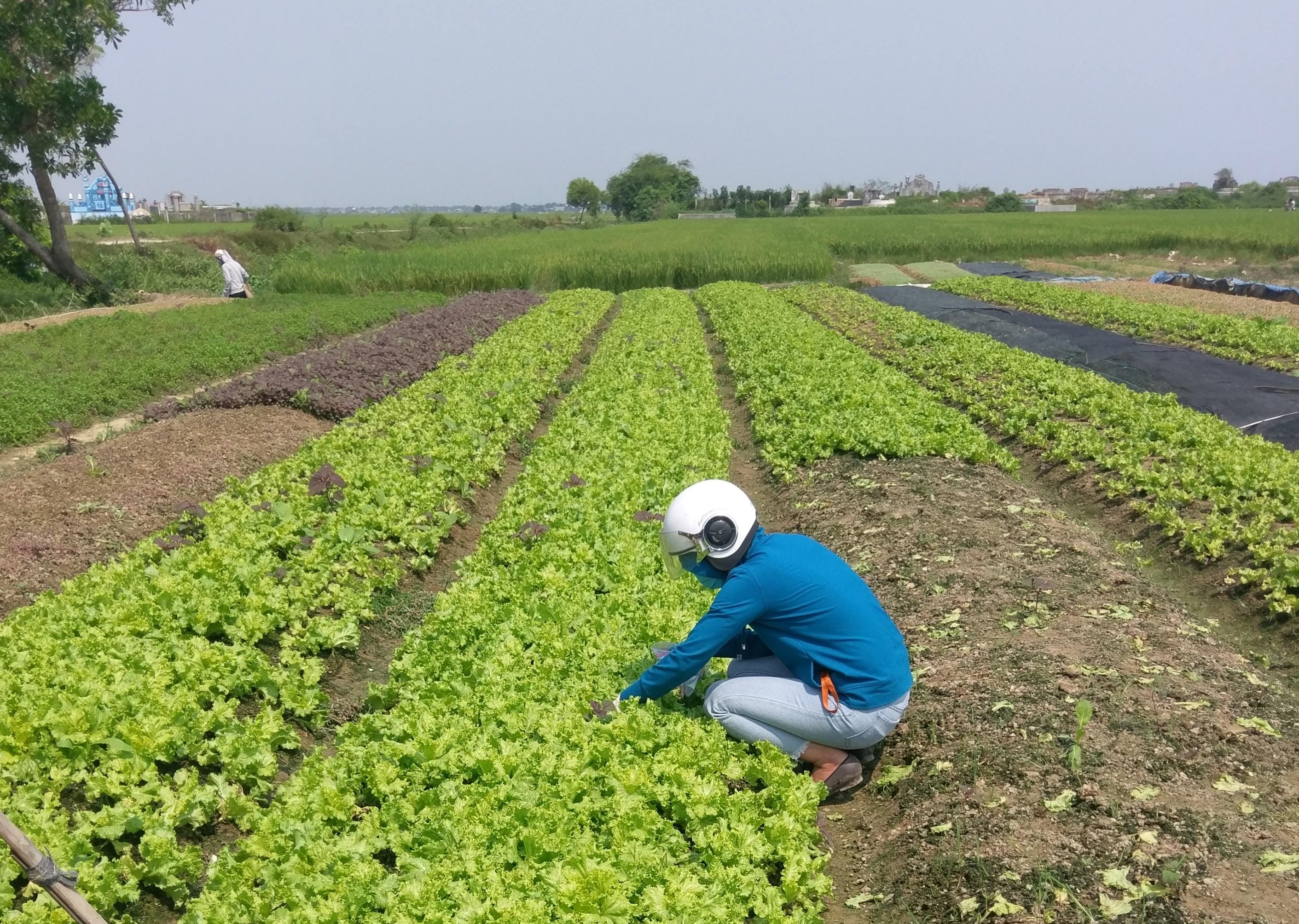 Nhóm nghiên cứu lấy mẫu rau xà lách tại một trang trại ở Huế. Ảnh: NVCC