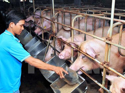 Một trang trại chăn nuôi lợn tại Thành phố Hồ Chí Minh. Ảnh: An hiếu/TTXVN.