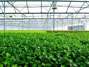 Xây nhà kính sản xuất rau sạch công nghệ Israel trị giá 1.000 tỷ đồng