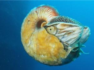 Cận cảnh loài ốc anh vũ quý hiếm nhất thế giới
