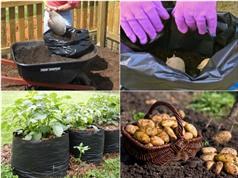 Thử nghiệm cách trồng khoai tây trong túi đơn giản cực sai củ