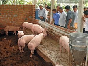 Sóc Trăng: Mô hình chăn nuôi heo ứng dụng đệm lót sinh học cho năng suất cao