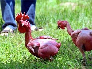 Các giống gà kỳ lạ trên thế giới