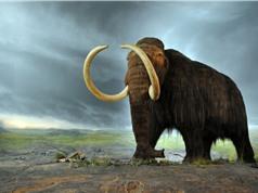 Hé lộ nguyên nhân khiến voi ma mút biến mất
