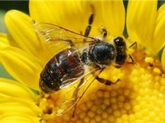 Ong tuyệt chủng, con người sẽ mất 3 tỷ USD/năm
