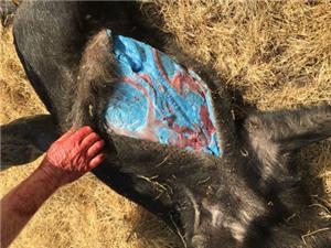 Lợn rừng có mỡ màu xanh dương
