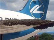 Máy bay phải hạ cánh khẩn cấp vì bị... ong tấn công