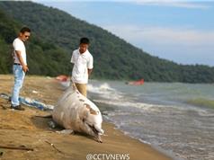 Cá heo trắng quý hiếm chết thảm vì mắc cạn trên bờ biển