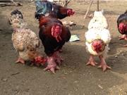Công bố quyết định công nhận nhãn hiệu tập thể gà Đông Tảo