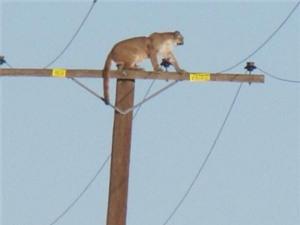 Báo sư tử vắt vẻo trên cột điện cao 10 mét
