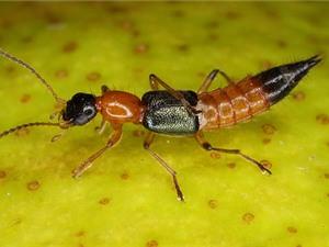 Cảnh giác trước các loài kiến độc nhất Việt Nam