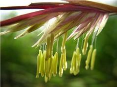 """Kỳ thú hoa tre """"trăm năm nở hoa một lần"""" không phải ai cũng biết"""