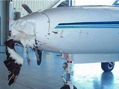 Vì sao chim có thể đâm móp đầu máy bay?