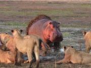Clip: Bất cẩn khi săn mồi, Sư tử bị hà mã cắn chết