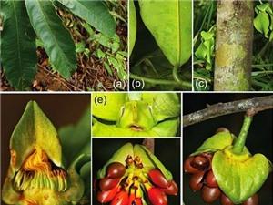 Khánh Hòa: Phát hiện loài thực vật thuộc họ... cà phê
