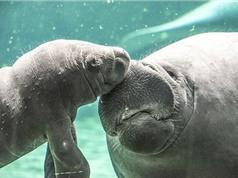 Mê mẩn hình ảnh đáng yêu về hai mẹ con lợn biển