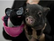 """Lợn """"tí hon"""" sinh ra từ biến đổi gen"""