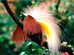 Chiêm ngưỡng vẻ đẹp mê người của chim Thiên Đường
