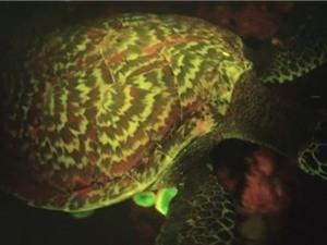 """Rùa biển phát sáng """"siêu"""" hiếm"""