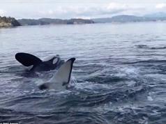 Độc chiêu gãi ngứa lợi hại của cá voi sát thủ