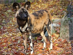 Những sự thật ít ai biết về chó hoang châu Phi